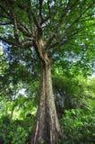 Grand arbre vert dans la forêt tropicale images stock