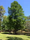 Grand arbre vert en parc images libres de droits