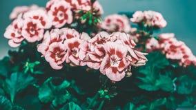 Grand arbuste de géranium rose de deux couleurs avec des fleurs et des bourgeons Plan rapproché photo stock