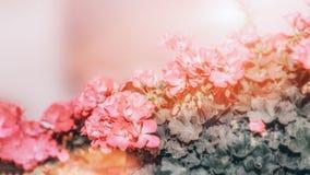Grand arbuste de géranium rose de deux couleurs avec des fleurs et des bourgeons Plan rapproché toned photos libres de droits