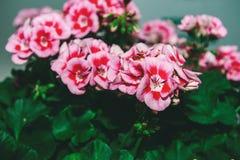 Grand arbuste de géranium rose de deux couleurs avec des fleurs et des bourgeons Plan rapproché toned image stock
