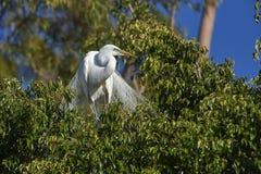 Grand Ardea de héron alba dans le plumage d'élevage image stock