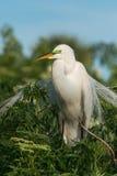 Grand Ardea de héron alba dans le plumage d'élevage Photos libres de droits