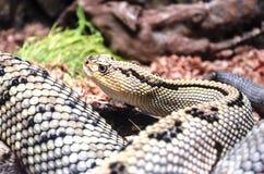 Grand avec les taches noires et jaunes, serpent de serpent à sonnettes Photographie stock libre de droits