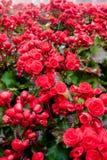 Grand bégonia rouge Photographie stock libre de droits