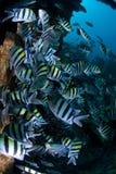 Grand banc des poissons tropicaux Photographie stock
