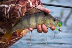Grand bar d'Amérique avec une amorce et un crochet mous dans la bouche et gouttes d'eau courante dans la main du ` s de pêcheur P Photos libres de droits