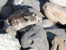 Grand bassin Spadefoot dans les roches Photos stock