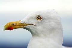 Grand beau fuscus de Larus d'élevage de mouette sur l'Océan atlantique Images libres de droits