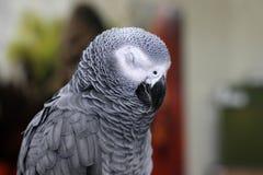 Grand beau perroquet se reposant sur la cage photographie stock
