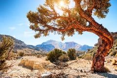 Grand bel arbre sur la montagne sur Altiplano, Bolivie image libre de droits