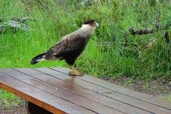 Grand bel oiseau d'Eagle dans une table en bois Photo libre de droits