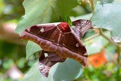 Grand belina de Gonimbrasia de papillon, mite d'empereur Madagascar Images stock
