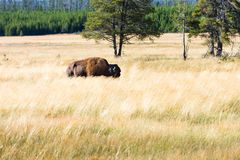 Grand bison américain ou buffle images stock