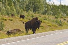 Grand Bison Bull Images libres de droits