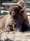 Grand bison puissant photos stock