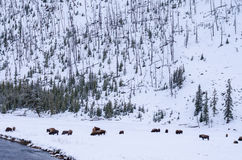 Grand bison sur prismatique grand chez Yellowstone Image stock