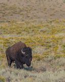Grand Bison Walk Through Field Images stock