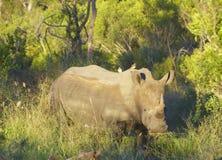 grand blanc de rhinocéros Photo libre de droits
