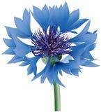 Grand bleuet bleu Photos libres de droits