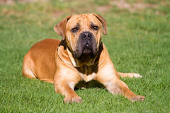 Grand Boerboel Photos libres de droits