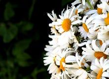 Grand bouquet des camomilles de champ blanches images libres de droits