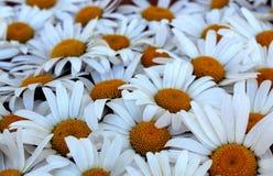 Grand bouquet des camomilles de champ blanches d'été photos stock