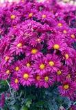 Grand bouquet des chrysanthèmes dans le jardin Images stock
