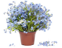 Grand bouquet des myosotis des marais (Myosotis) Photos libres de droits