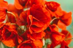 Grand bouquet des pavots rouges photos libres de droits