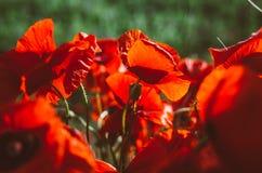 Grand bouquet des pavots rouges images libres de droits