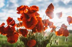 Grand bouquet des pavots rouges images stock