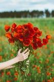 Grand bouquet des pavots rouges chez des mains de la femme images libres de droits