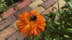 Grand bourdon hirsute rayé sur la fleur orange du calendula clips vidéos