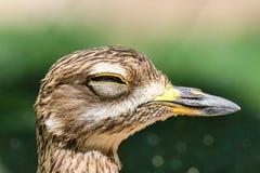 Grand bourdonnement en gros plan observé d'oiseau fatigué un jour ensoleillé photos stock