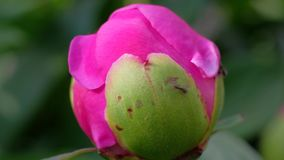 Grand bourgeon de pivoine avec le buisson de pivoine de fourmis, belles fleurs dans le jardin banque de vidéos