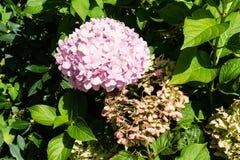 Grand bourgeon floral rose à côté de bourgeon défraîchi Photographie stock libre de droits