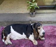 Grand briquet sur un tapis rose devant la maison photos stock