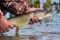 Grand brochet à bouche ouverte avec des gouttes d'eau courante dans la main du ` s de pêcheur pêche de crochet et de libération Image libre de droits