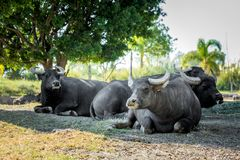 Grand buffle africain Photos stock