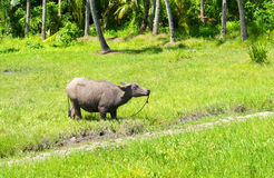 Grand buffle sur le pâturage d'herbe verte Photo asiatique de voyage d'agriculture Animal de ferme de carabao à Philippines Photographie stock