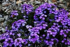 Grand buisson des fleurs bleues lumineuses, fond photo libre de droits