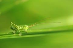 Grand Bush-cricket vert photo stock