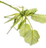 Grand Bush-cricket vert femelle, viridissima d'Ettigonia Image stock