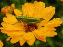 Grand Bush-cricket vert sur le souci Photo stock