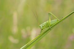Grand Bush-cricket vert, viridissima de Tettigonia Photo stock
