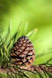 Grand cône de pin Image libre de droits