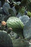 Grand cactus Images libres de droits