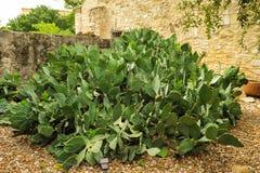 Grand cactus dans des jardins d'Alamo Image stock
