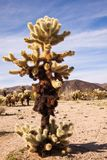 Grand cactus de Cholla d'ours de nounours Photo stock
